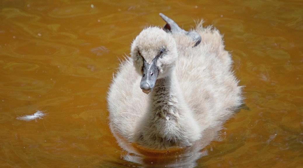 Australian Black Swan (Cygnet)