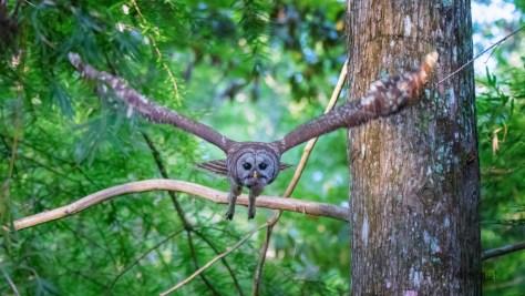 I Flinched, Barred Owl