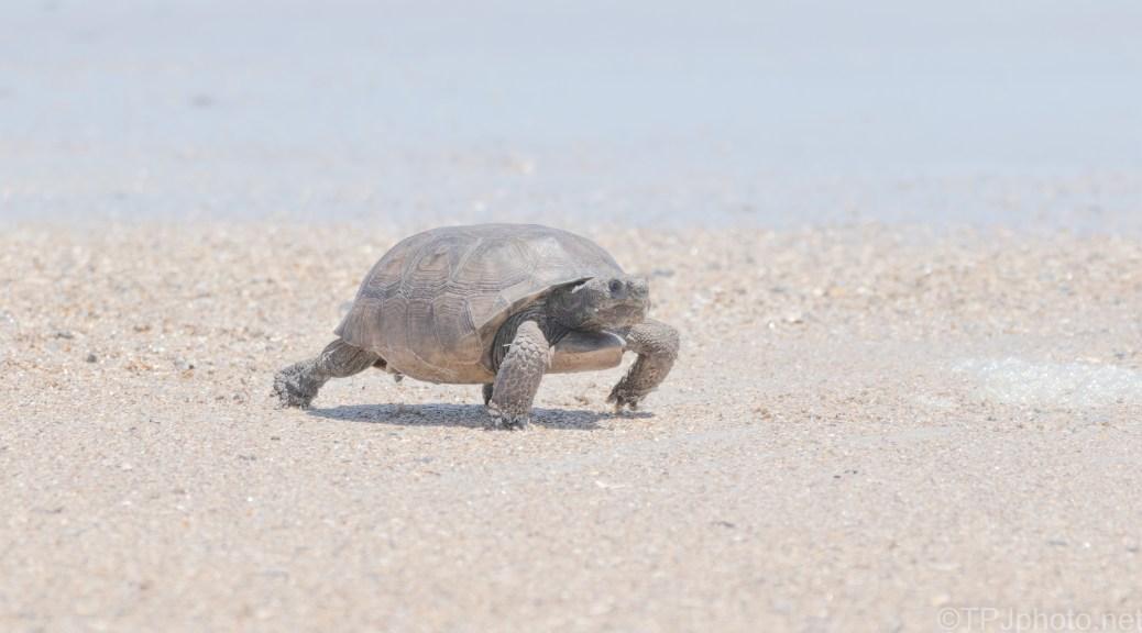 Gopher Tortoise Walking The Beach