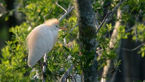 Cattle Egret With Their Orange Trims