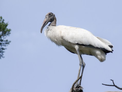 From A Rookery, Wood Stork