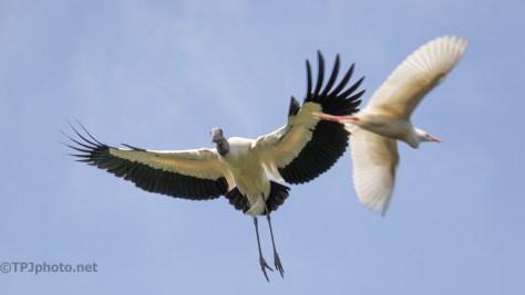 Traffic Jam - Near Collision, Stork And Egret