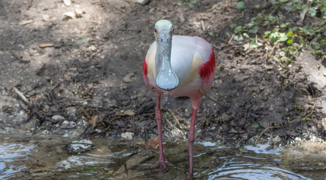 Stopping For A Drink, Spoonbill