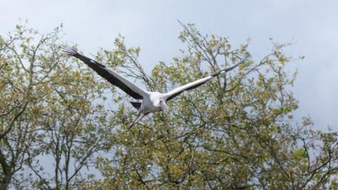 Low Overhead, Wood Stork