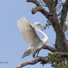 Announcing His Arrival, Egret