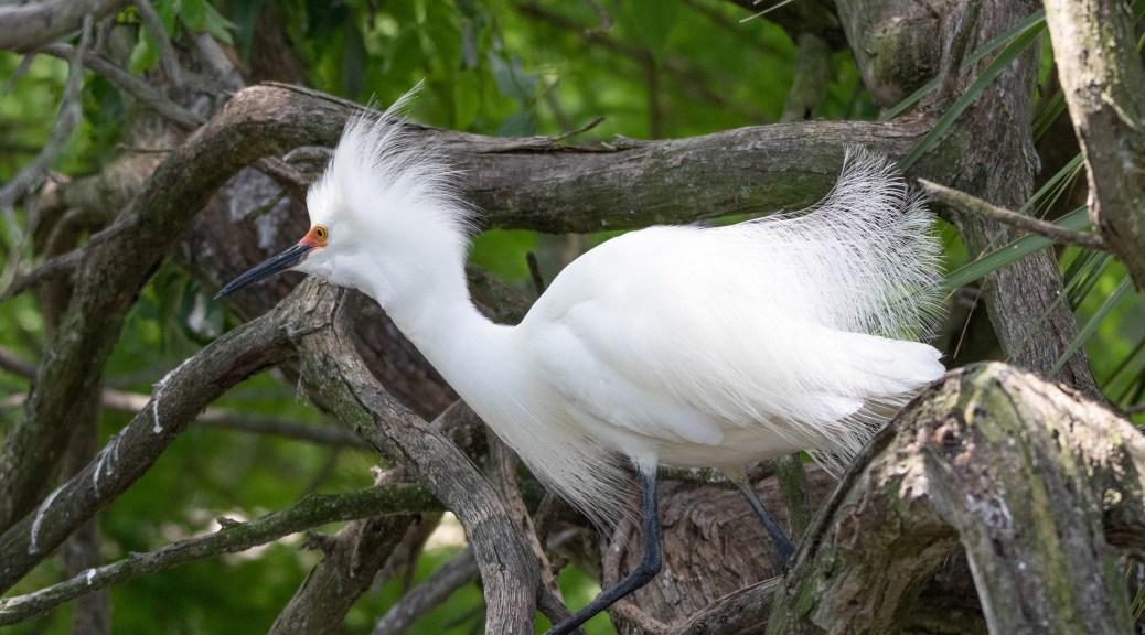 Little Snowy Egret