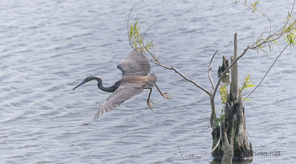 Quick Snatch, Tricolored Heron