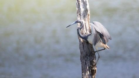Hang Tight, Tricolored Heron