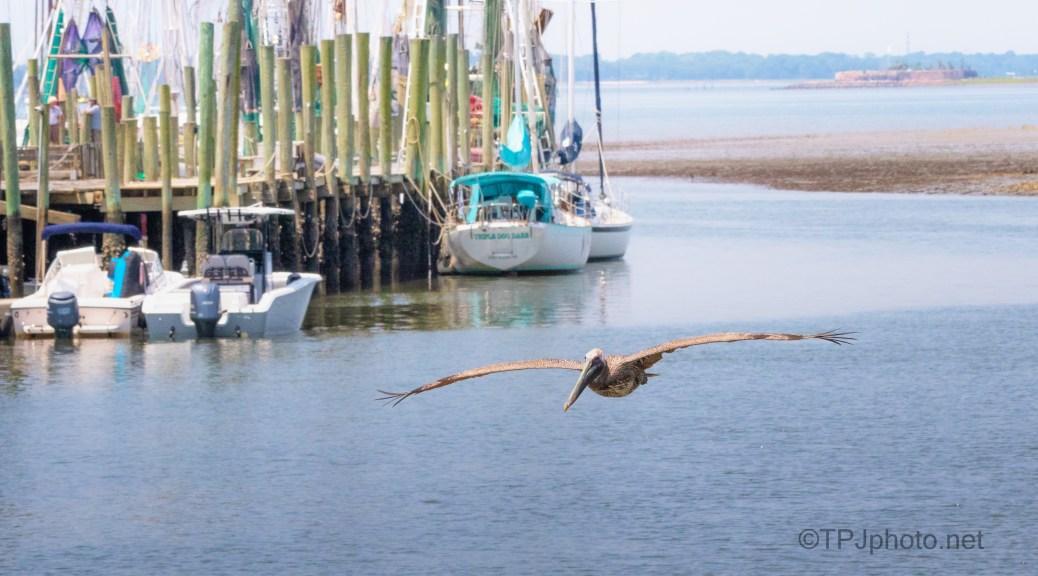 Coming To Shore, Brown Pelican