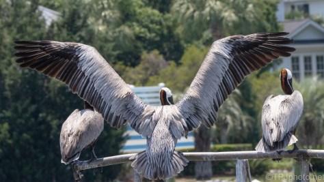 Make A Hole - Pelicans