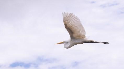 Egret Slipping By