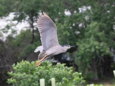 Flight, Black-crowned Night Heron