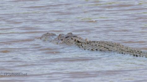 Snaps Of The Locals, Alligator