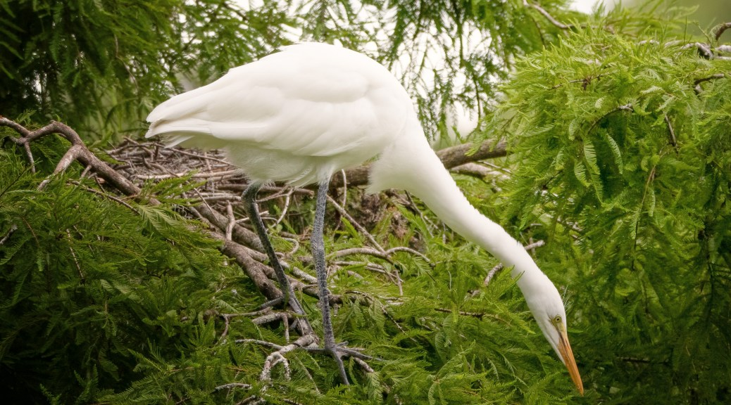 Curious Young Great Egret