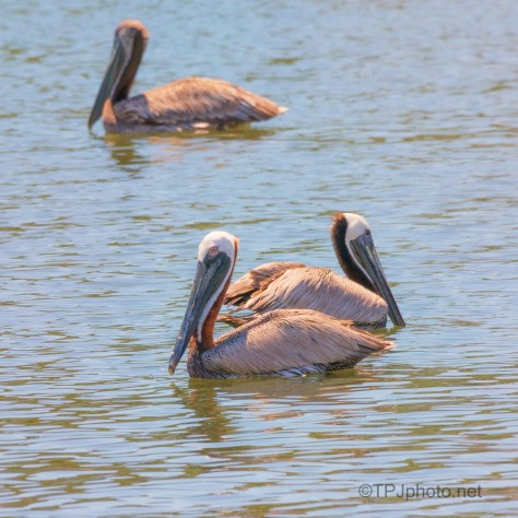 Post Dinner Nap Time, Pelican