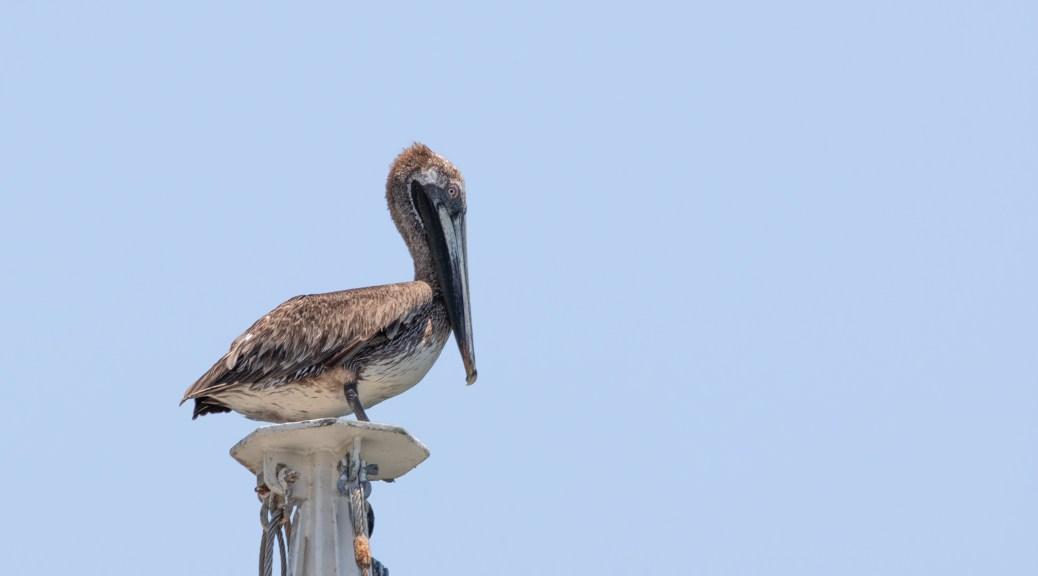 Pelicans Topside (1)
