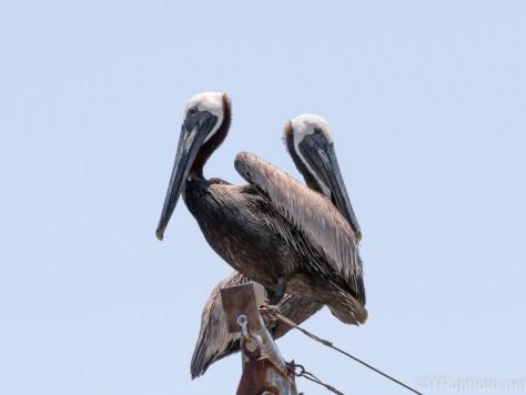 Pelicans Topside (3)