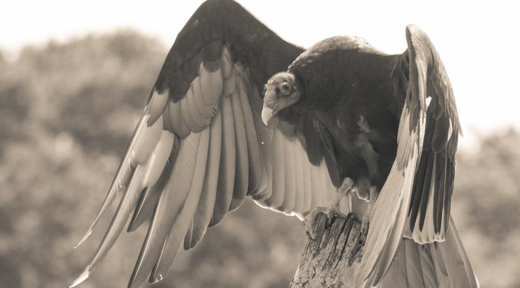 Turkey Vulture, Sepia