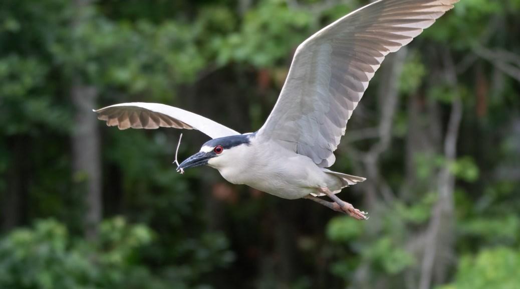 Black-crowned, Close Pass