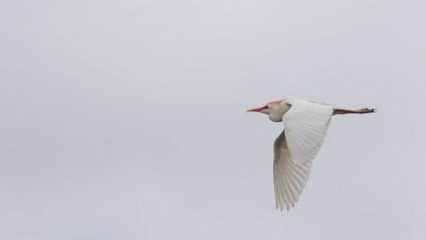Cattle Egret, Full Flight