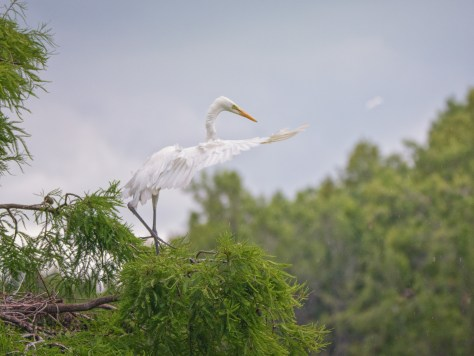Rainy Day Egret