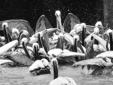 Fun Pelican Chaos, Black And White