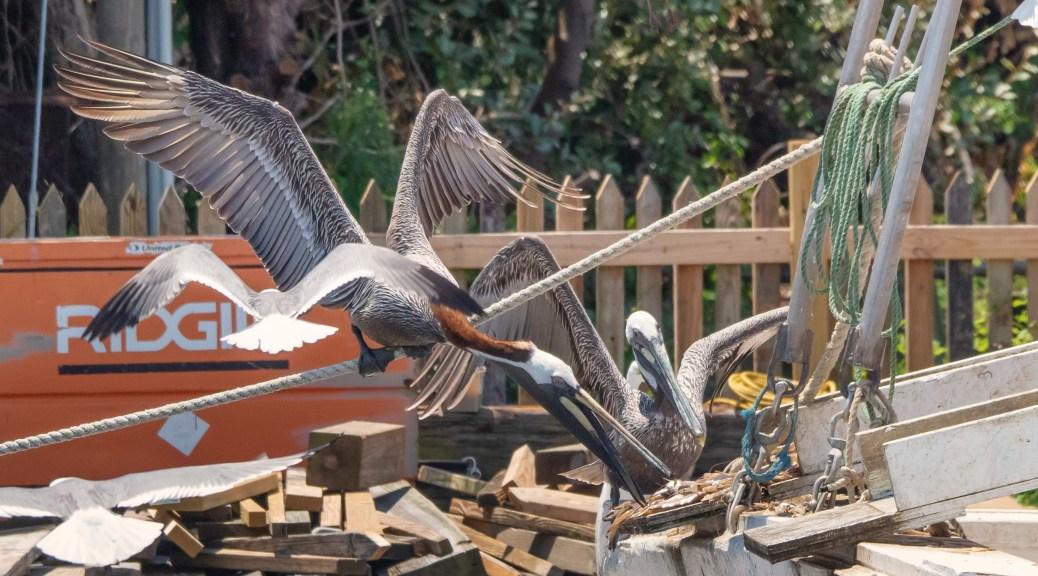A Master Thief, Pelican