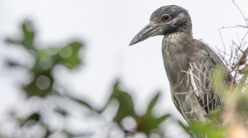 Not A Baby - But Not Adult Either, Night Heron