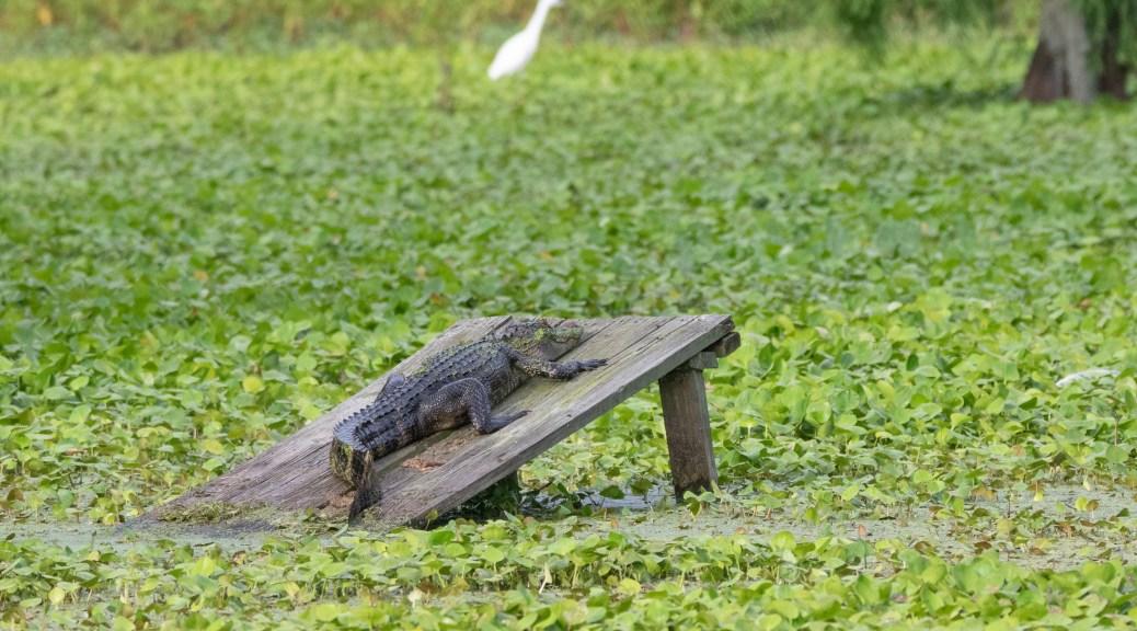 Can't Ignore The Locals, Alligator