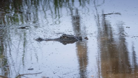 He Couldn't Wait For Me To Leave, Alligator