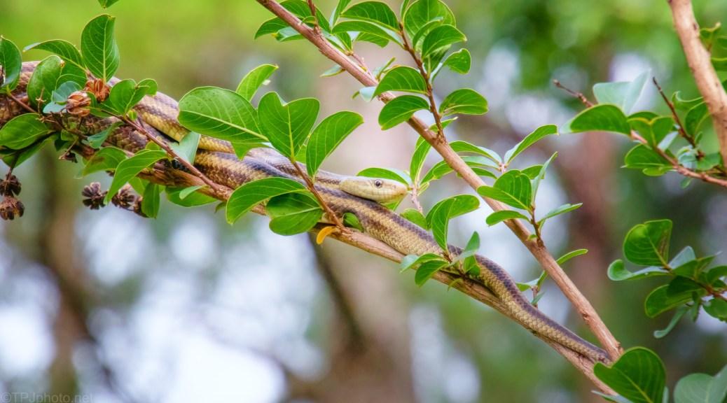 Ribbon Snake, Overhead