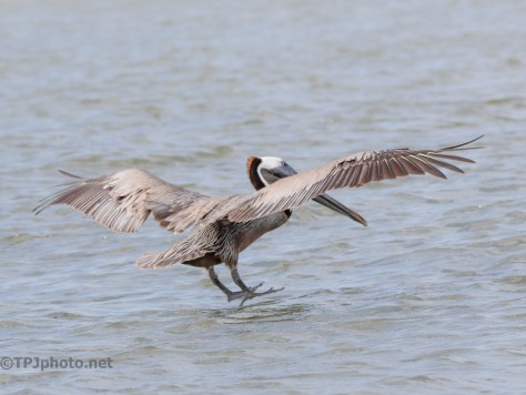 Brown Pelican Are One Of Two That Dive For Food