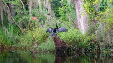 Swamp Scene, Anhinga