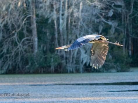In Flight, Great Blue