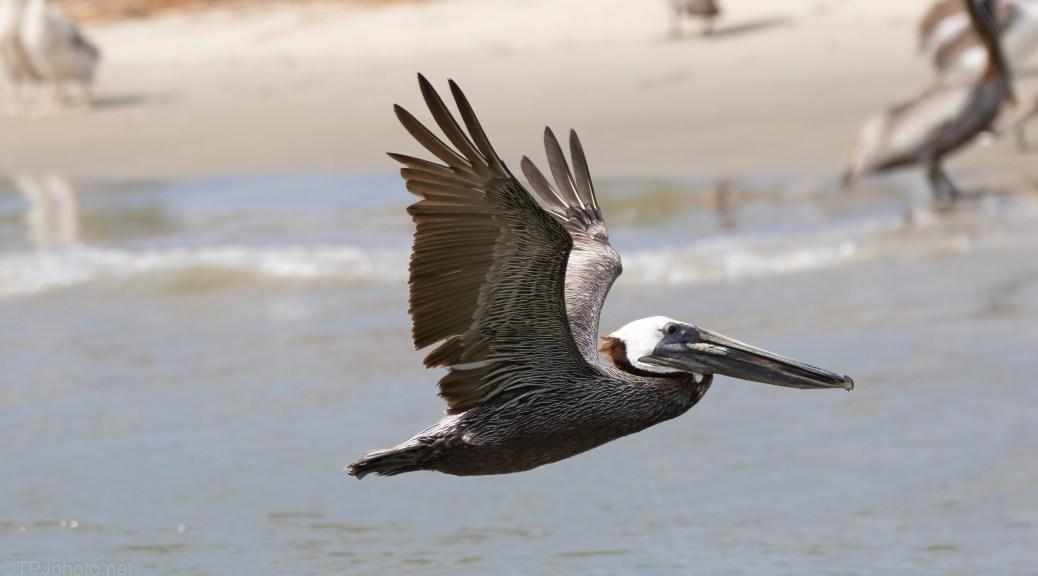 A Very Graceful Dinosaur, Brown Pelican