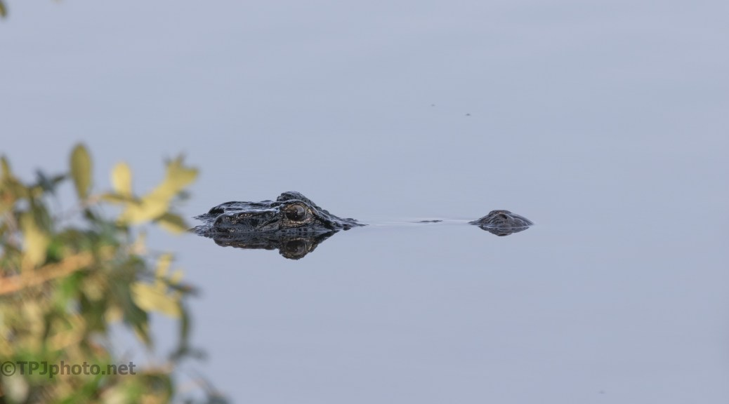 Slipped Out From An Overhang, Alligator