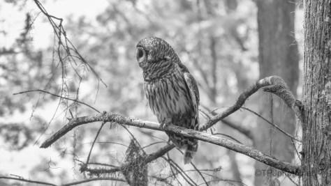 Barred Owl, B&W