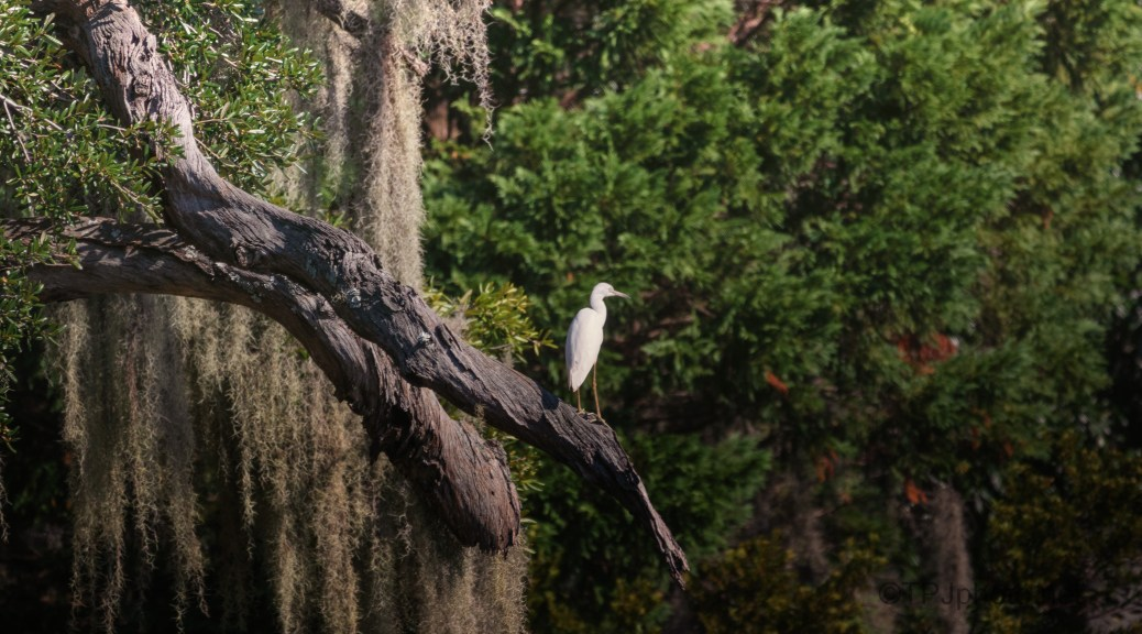 Very Old Live Oak, Spanish Moss, With Young Little Blue Heron