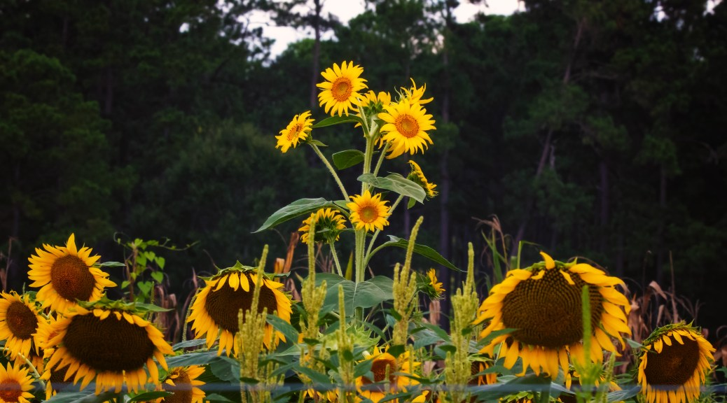 Pretty, Just Not Tall Sunflowers