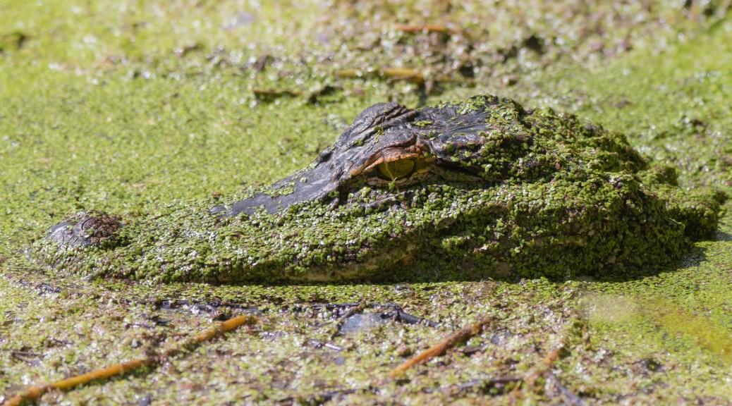 Near Invisible, Alligator