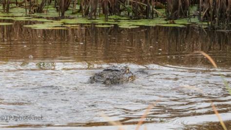 Looking For Snacks, Alligator