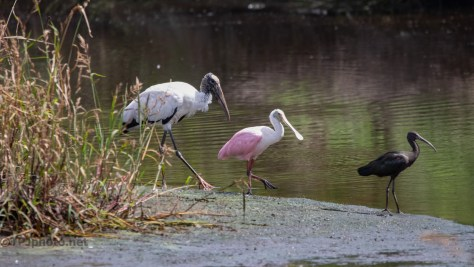 A Parade, Wood Stork, Roseate Spoonbill, Glossy Ibis