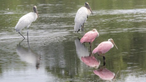 Storks And Spoonbills