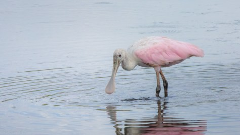 Spoonbill Sifting The Bottom