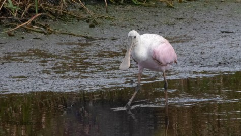Spoonbill Wandering Along A Rice Field