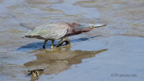 Working The Pluff, Green Heron
