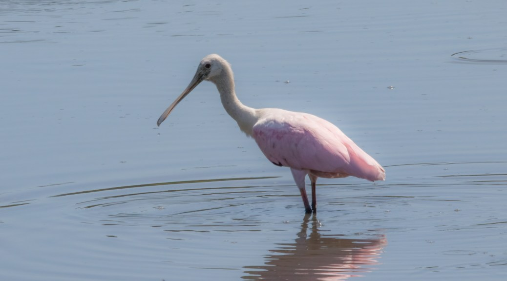 Spoonbill By Charleston's Cooper River