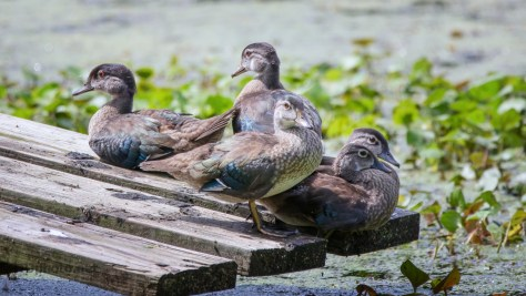 A Few Of This Years Wood Ducks