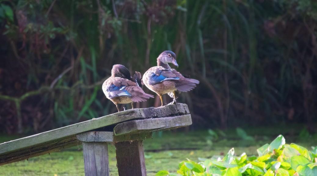 Wood Ducks Growing Up
