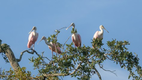 Huddle Up For A Group Shot, Spoonbill